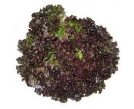 salade Batavia Brune Grenobloise
